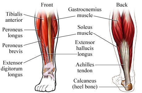 diagram-calves